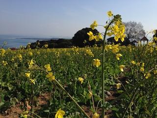 のこのしまアイランドパーク菜の花2_140308