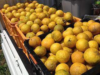 ニューサマーオレンジ収穫2_140419