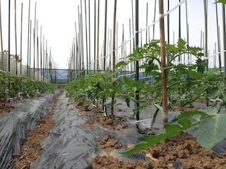 無農薬トマト1_140517