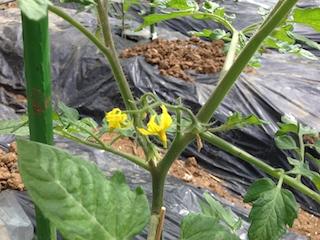 無農薬トマト2_140517